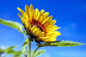 sunflower-1536088_1920 (1)